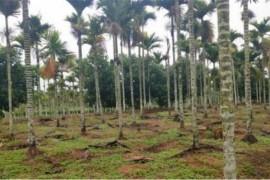 槟榔如何提升产量,加强管理是关键,种植计划要落实